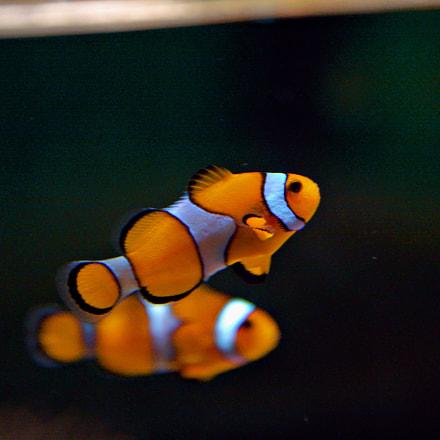 """Nemo"" from ""Finding Nemo"", Canon EOS 30D"
