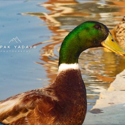 Mallard Duck, Nikon COOLPIX S9200