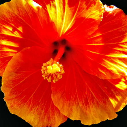 Gold Hibiscus Flower, Canon POWERSHOT SX50 HS, 4.3 - 215.0 mm