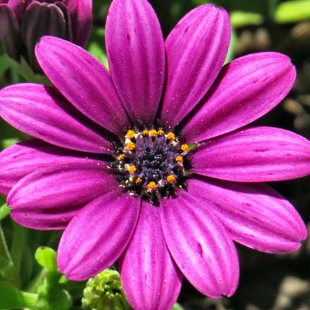 Purple Daisy Flower, Canon POWERSHOT SX50 HS, 4.3 - 215.0 mm