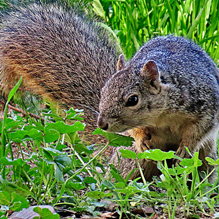 Squirrel In The Park, Canon POWERSHOT SX50 HS, 4.3 - 215.0 mm