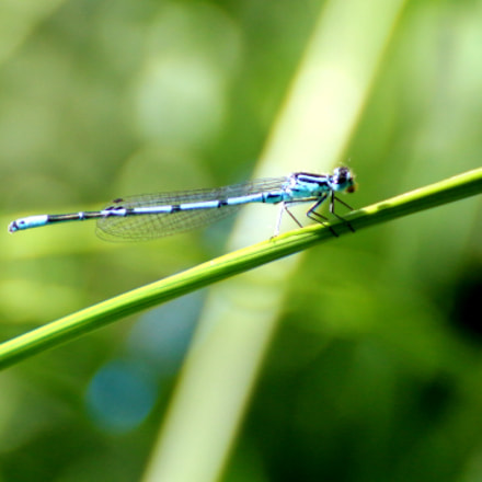 Dainty damselfly (Coenagrion scitulum), Canon EOS 100D, Tamron SP 70-300mm f/4.0-5.6 Di VC USD