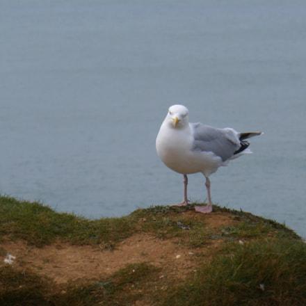 Etretat seagull, Panasonic DMC-TZ36