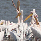 Yawing pelican