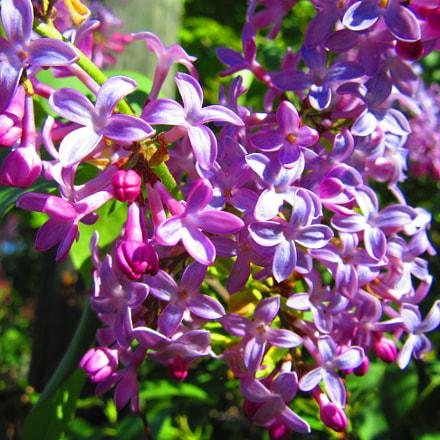 Lilac, Canon POWERSHOT SX610 HS