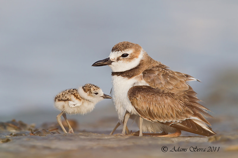 Photograph Wilson's Plover Family II by Adams Serra on 500px