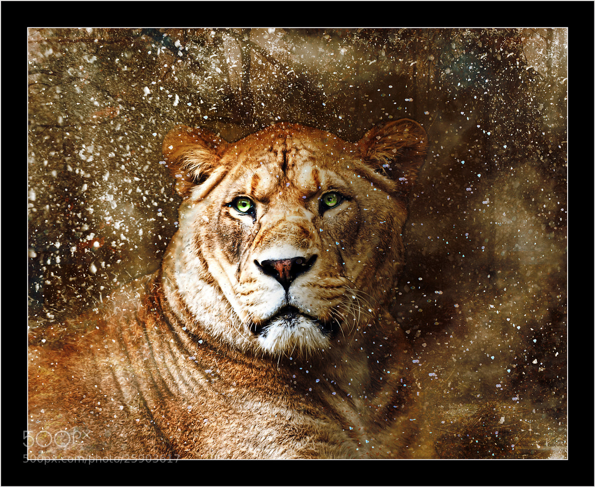 Photograph Lion by Kevin Sharpe on 500px