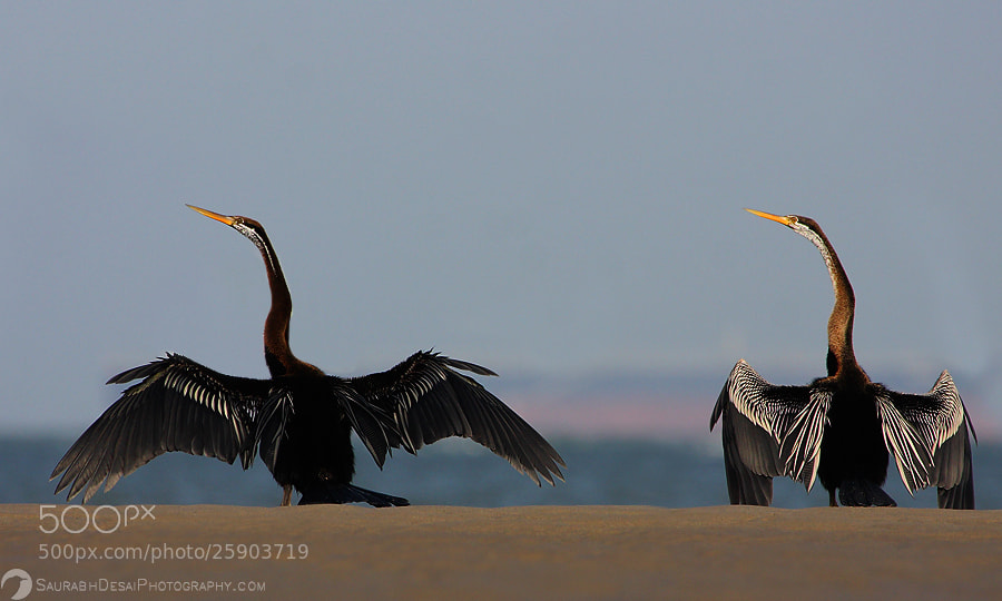 Photograph Darter Pair... by Saurabh Desai on 500px