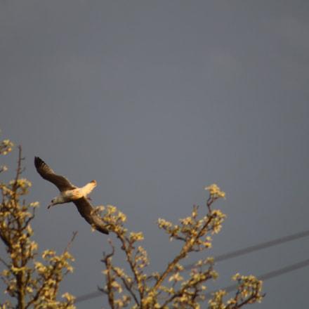 Gull in Flight, Canon EOS REBEL SL1, Canon EF 75-300mm f/4-5.6
