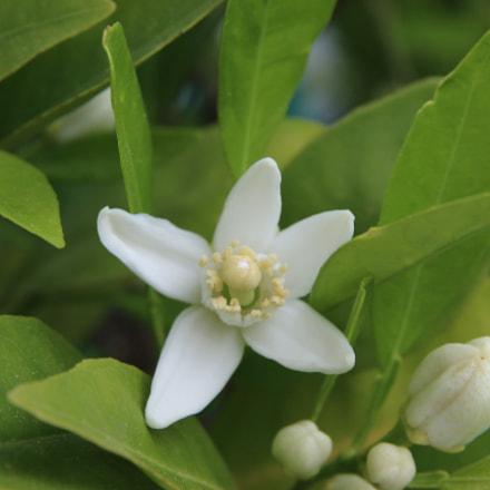 Flor de naranjo, Canon EOS M10, Sigma 17-70mm f/2.8-4.5 DC Macro