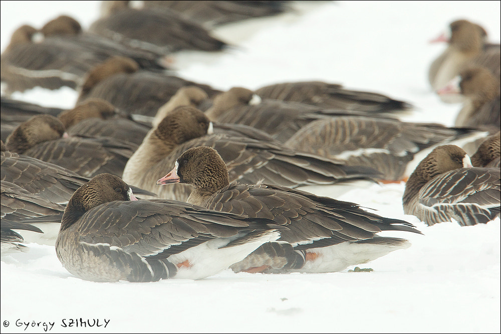 Photograph Greater White-fronted Goose (Anser albifrons) by Gyorgy Szimuly on 500px