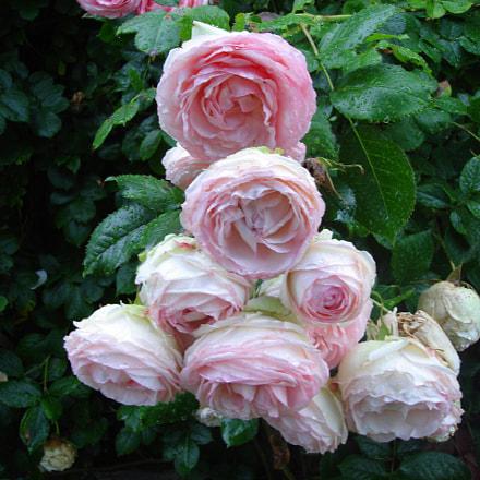 Roses,Normandie,, Sony DSC-N1