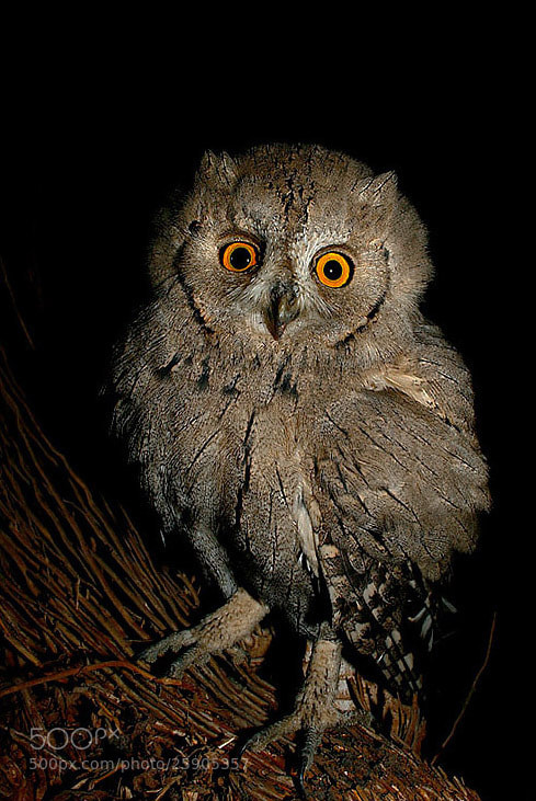 Photograph Scops Owl by Saurabh Desai on 500px