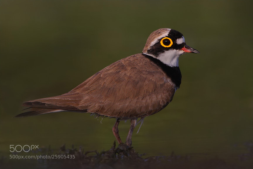 Photograph Little Ringed Plower by Saurabh Desai on 500px