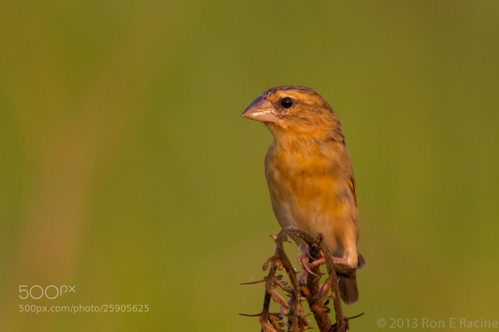 Photograph Asian Golden Weaaver by Ron E Racine on 500px