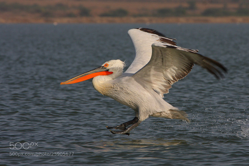 Photograph The Pelican Landing by Saurabh Desai on 500px