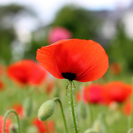 Red poppy, Canon EOS 1100D, Canon EF 50mm f/1.8 II