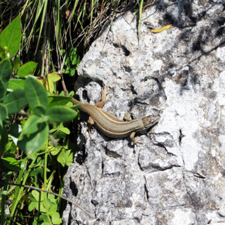 Small lizard in Gibraltar, Canon EOS 550D, Canon EF-S 18-55mm f/3.5-5.6 IS STM
