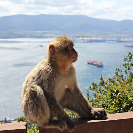 Nice macaque in Gibraltar, Canon EOS 550D, Canon EF-S 18-55mm f/3.5-5.6 IS STM