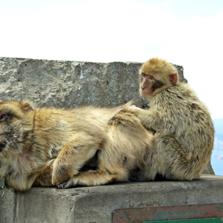 Barbary macaques in Gibraltar, Canon EOS 550D, Canon EF-S 18-55mm f/3.5-5.6 IS STM