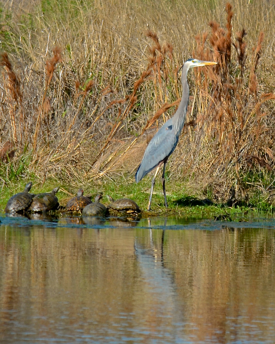 Photograph Heron and Turtles by Steven Bach on 500px