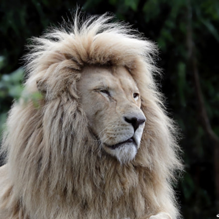 Afr. White Lion, Canon EOS-1D X MARK II, Canon EF 300mm f/2.8L IS II USM + 1.4x