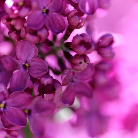 Lilac Beauty ⊰✿, Canon EOS 5D MARK III