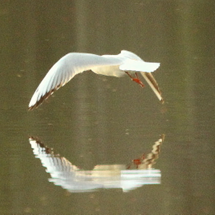 The seagull and reflection., Canon EOS 700D, Canon EF 70-300mm f/4.5-5.6 DO IS USM