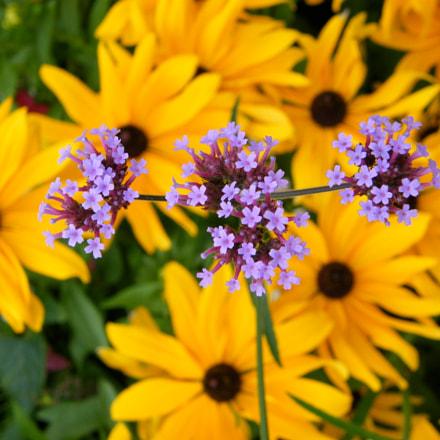 Fleurs violette sur fleurs, Fujifilm FinePix S8000fd