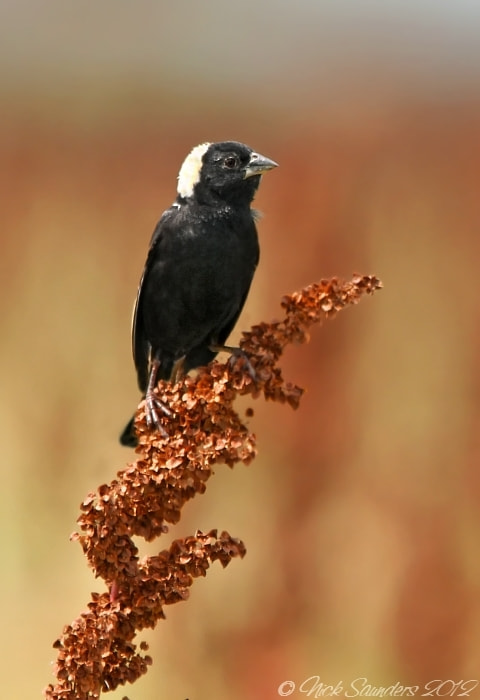 Photograph Bobolink by Nick Saunders on 500px