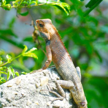 Garden Lizard, Nikon COOLPIX S9200