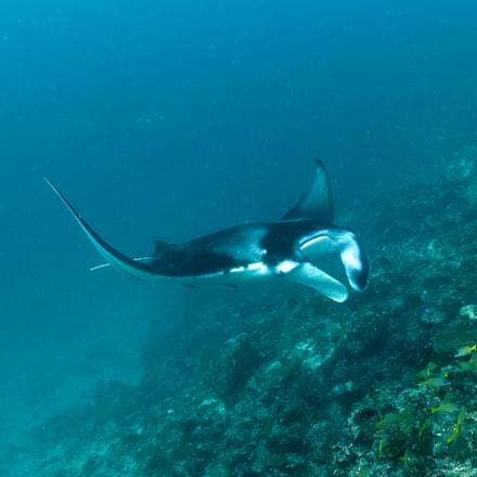 diving with mantas and, Nikon D810, AF Nikkor 20mm f/2.8D