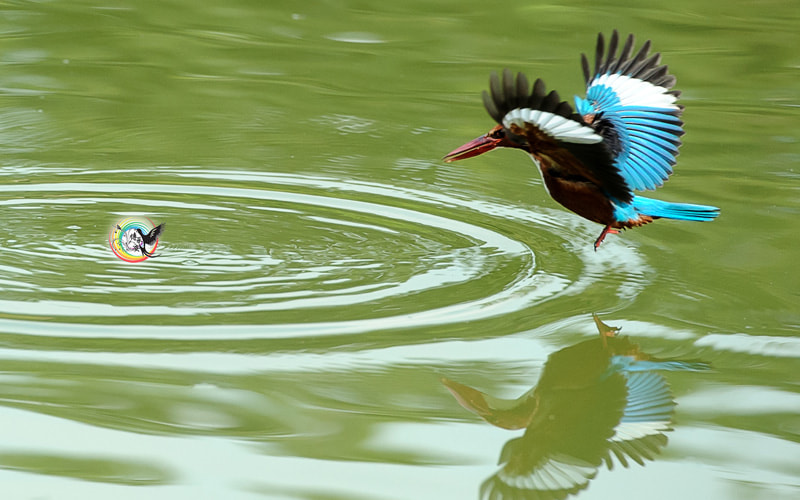 Photograph White-Throated Kingfisher III by Andy Fu on 500px