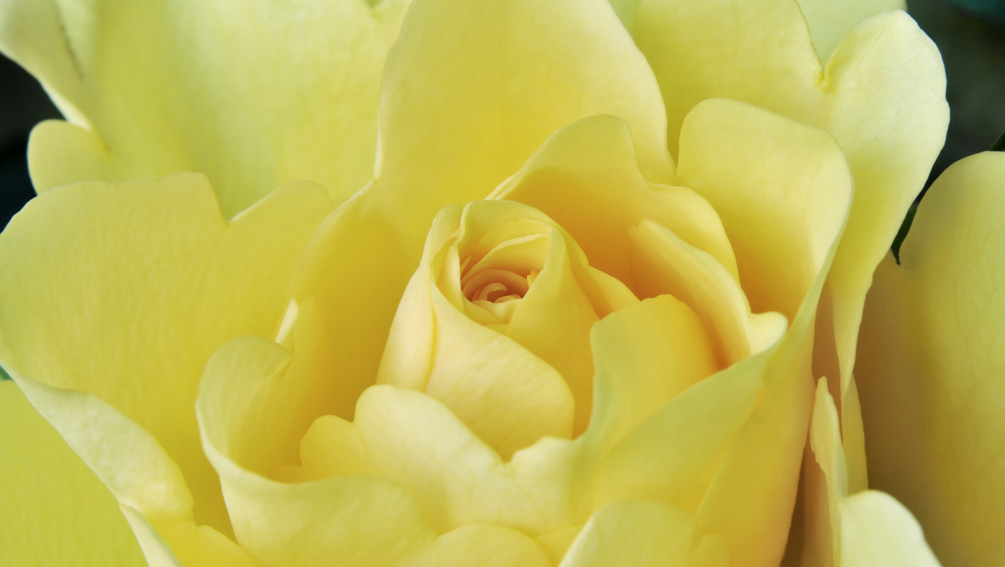 Photograph Yellow Rose by Digital Craft Factory on 500px