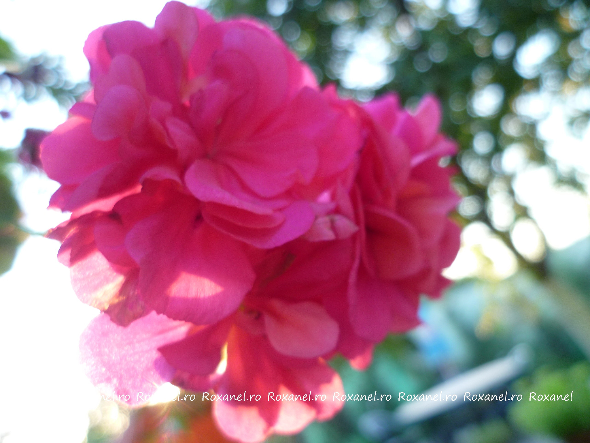 Photograph Pink flower by Roxana Baras on 500px