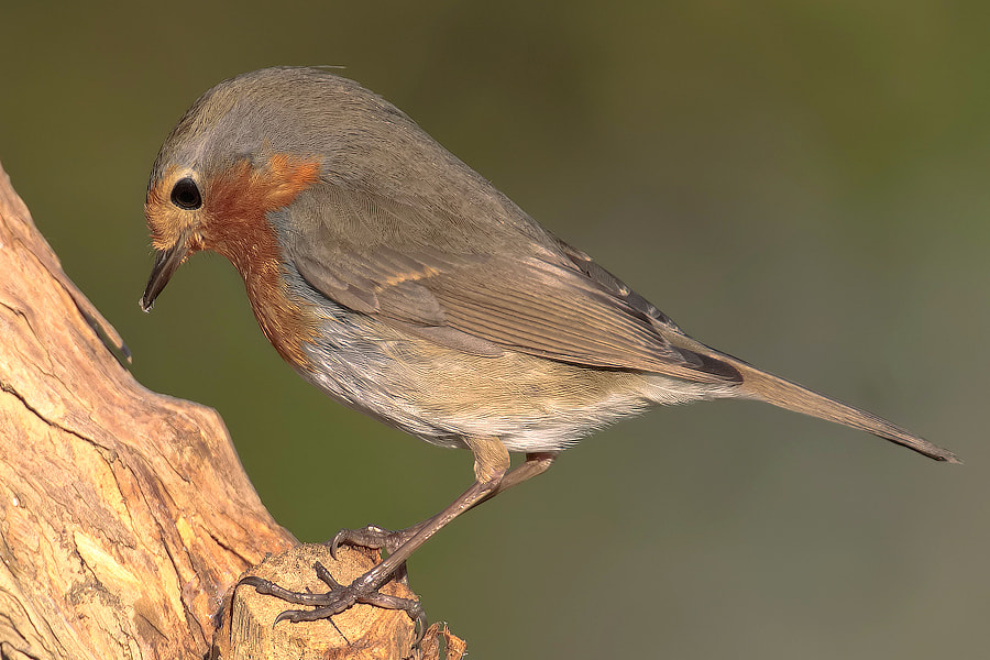 Photograph Robin by Roberto Becucci on 500px