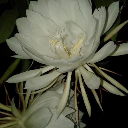 Night queen flowers, Samsung Galaxy J1 Ace