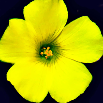 A Yellow Daisy Flower, Canon POWERSHOT SX50 HS, 4.3 - 215.0 mm