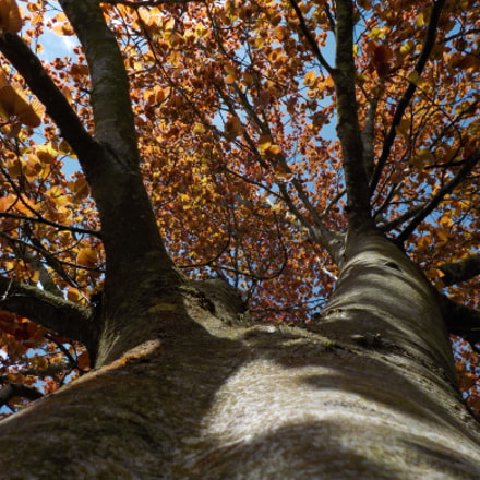 Upward Autumn Tree, Nikon COOLPIX S33