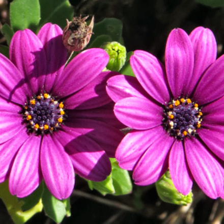 Two Purple Daisies In, Canon POWERSHOT SX50 HS, 4.3 - 215.0 mm