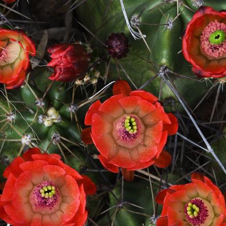 Cactus Caucus, Nikon D500, Sigma APO Macro 150mm F2.8 EX DG OS HSM