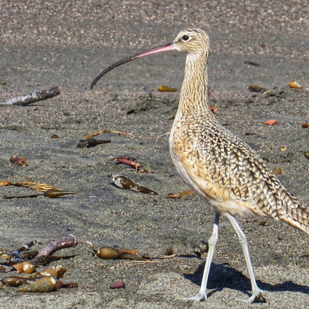 Long-billed Curlew, Canon POWERSHOT SX280 HS