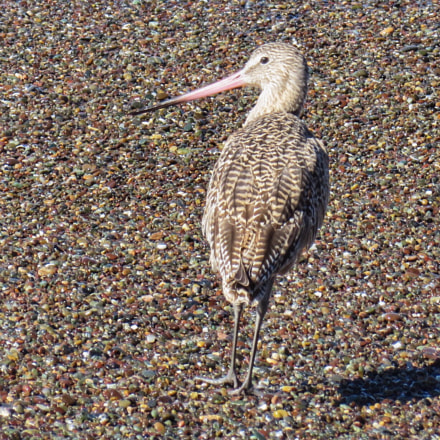 Godwit on Pebbles, Canon POWERSHOT SX280 HS