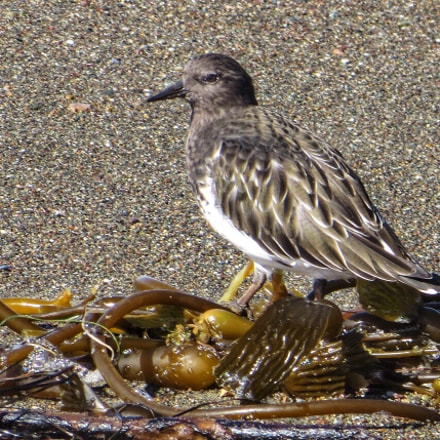 Black Turnstone on Kelp, Canon POWERSHOT SX280 HS
