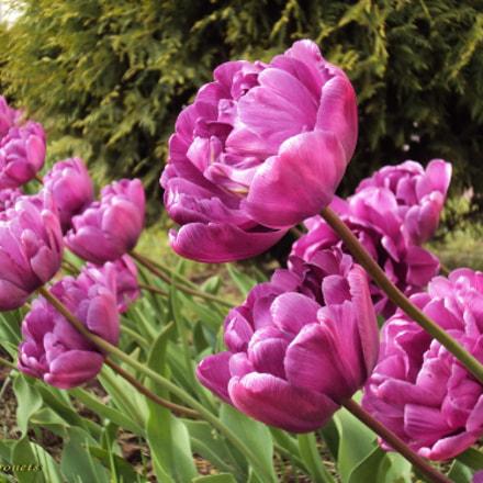 Mauve tulips, Sony DSC-W190