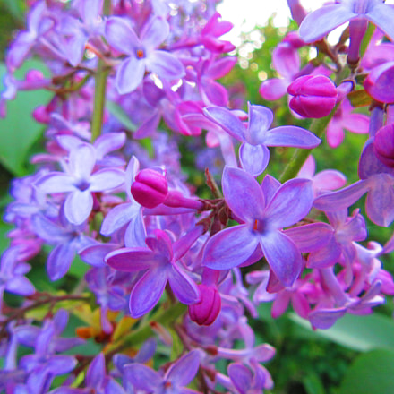 Lilac Flowers, Canon POWERSHOT SX610 HS