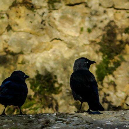Merles noirs blackbirds, Panasonic DMC-FZ8