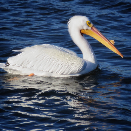 American White Pelican, Canon POWERSHOT SX280 HS