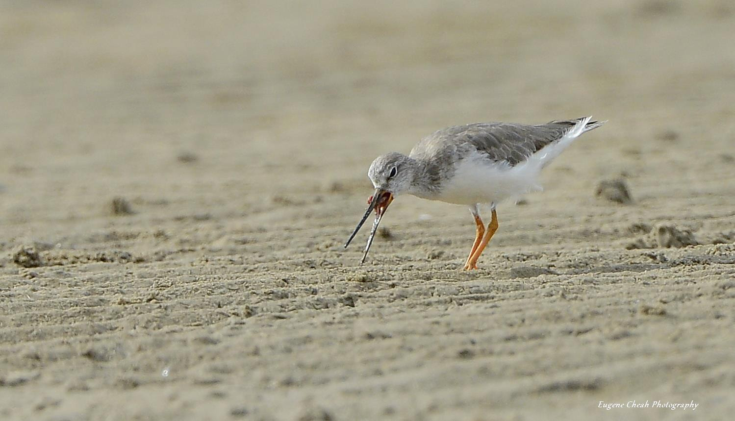 Photograph Terek Sandpiper eating by Eugene Cheah on 500px