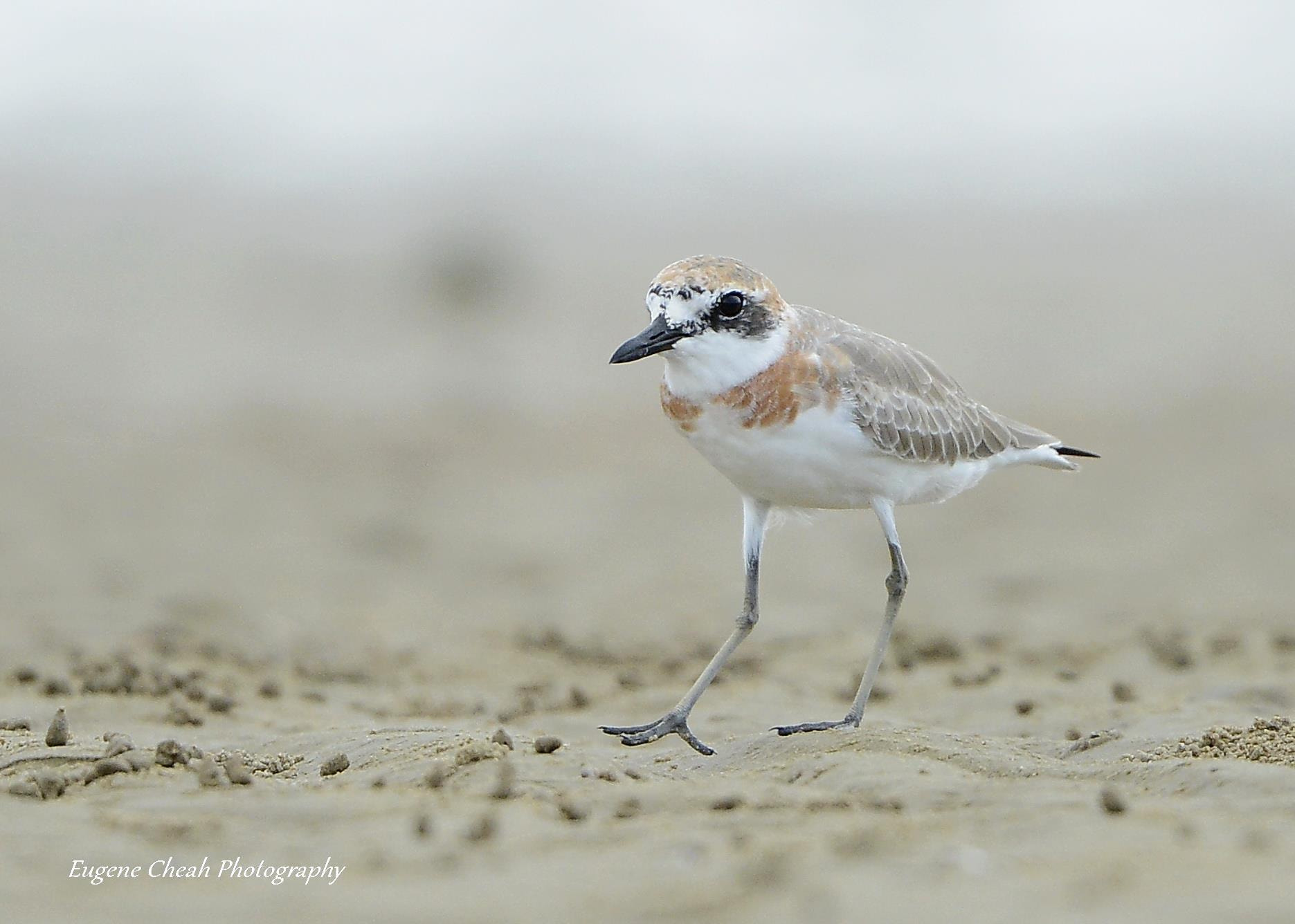 Photograph Greater Sand Plover (breeding plumage) by Eugene Cheah on 500px